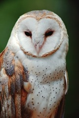 wildlife_barn_owl