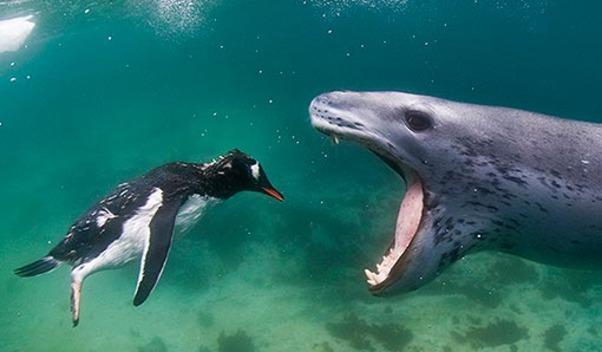 leopard-seal-eats-penguin-3-510x600