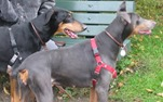 Doberman_Pinschers_black_and_blue (1)