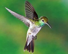 hummingbird_1