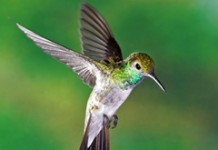 hummingbird_1_thumb.jpg